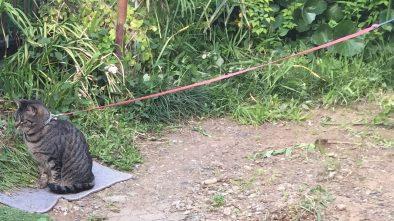近所の猫紐につながれてお庭でくつろいでいます
